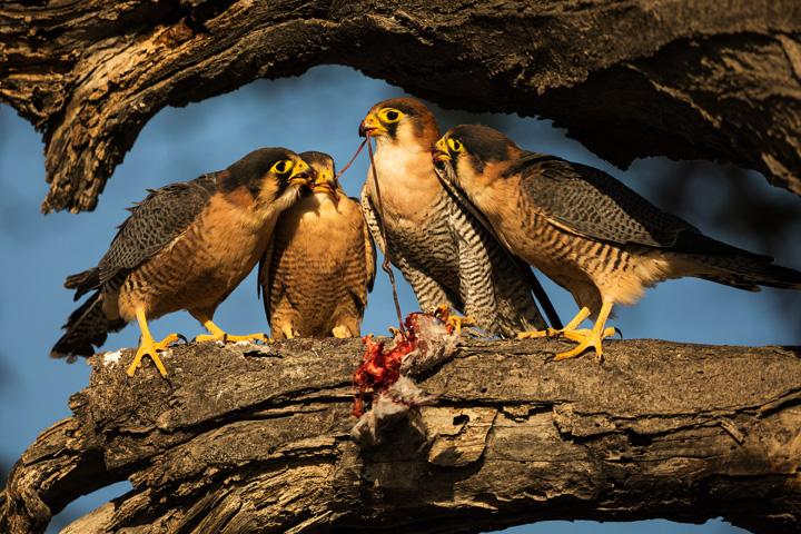 Falken familie