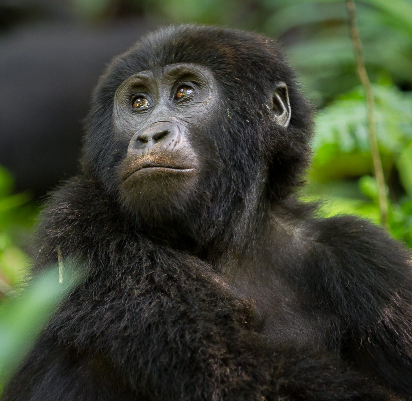 Mountain Gorilla Bwindi_Bwindi Nationapark